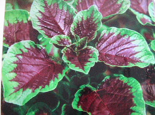Vegetable amaranth plants