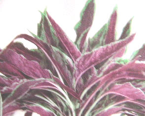 Vegetable amaranth
